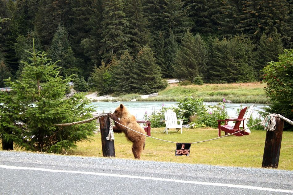 When you're a bear, you can disregard the signs. Tree Nature Outdoors Water Mammal Beauty In Nature Nature Vacations Noeople Details Of Nature Wildlife Bear Bear Cub Grizzly Bear Grizzly Bear Cub Funny Wildlife Wildlife Habitat Alaska Alaskan Life Humans And Animals Civilization Meets Nature Grizzly Bear Sighting Bear Cubs Baby Bear No Trespassing Sign