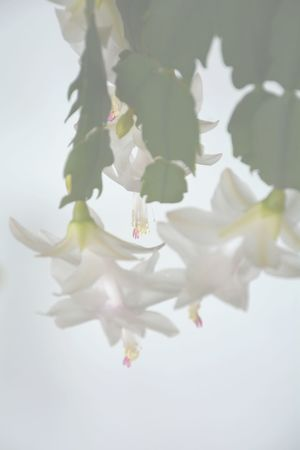 soft focus Christmas Cactus blossoms Schlumbergera Floral Soft Focus Christmas Cactus Blossom Blossoms  Flowers Backgrounds White Color Fragility Flower Beauty In Nature Nature Springtime White Background Petal No People Close-up Freshness Studio Shot Branch Flower Head