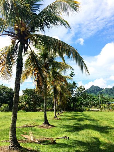 Sunny afternoon Coconut Trees Coconut Backgrounds Tree Palm Tree Growth Tree Trunk Beauty In Nature Nature Tranquility Cloud - Sky Scenics Sky Tranquil Scene Green Color Landscape Day Outdoors No People Grass