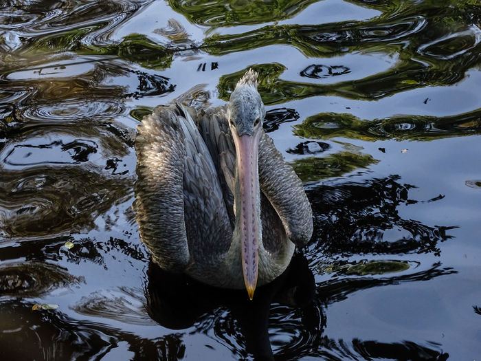 Animal Themes Animals In The Wild Bird High Angle View Outdoors Reflexiom Swimming Water Waterfront Young Pelican