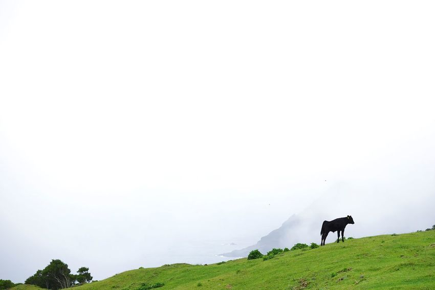 Cow One Animal Nature Beauty In Nature No People Outdoors Field Cloud Sony α♡Love SONY ILCE-7M2 SONY SEL90M28G at 八丈富士牧野 ふれあい牧場 Lost In The Landscape Connected By Travel