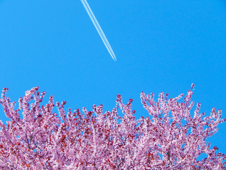 Blooming cherry tree and cloudless sky with airplane, shot on a warm day. Beauty In Nature Blue Clear Sky Contrail Day Low Angle View Nature No People Outdoors Scenics Sky Tree Freshness Flower Blossom Cherry Blossom Branch Plum Blossom Cherry Tree Flower Sunnyday Hungary🇭🇺