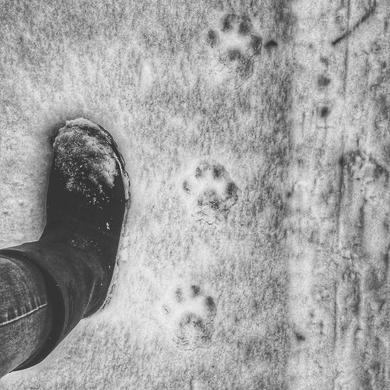 Tracks In Snow Animaltracks Canada Walkingonthewildside Wintertracks Eddontenajon Lake Cougar Stalkingcougars Mountain Lion Cougar Tracks Nature Outdoors