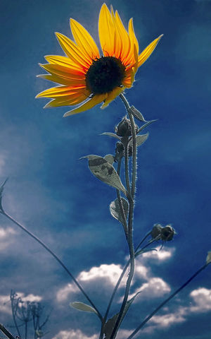 Yelllow Flower Head Flower Sky Close-up Animal Themes Sunflower