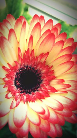 Sarah7790 Blume Rot Pflanze  Gerbera Flower Flower Head Freshness Petal Fragility Close-up Beauty In Nature Daisy Gerbera Daisy Growth Season  Springtime Macro Selective Focus Nature Blossom In Bloom Single Flower Pink Color