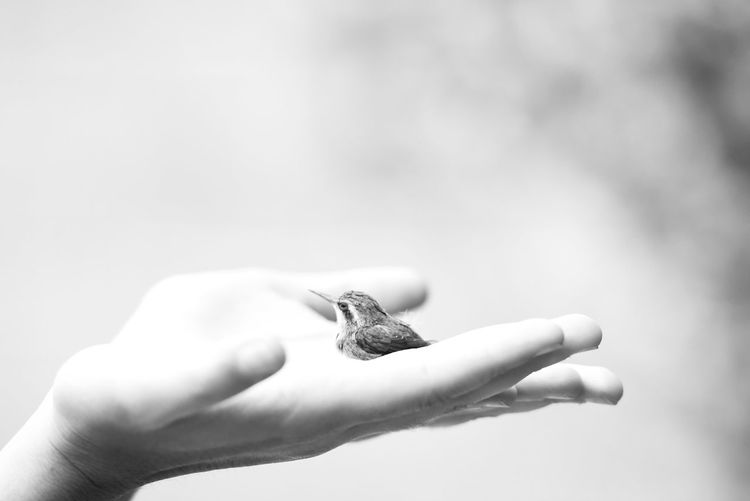 Picaflor Human Hand Human Body Part Holding Animals In The Wild Hummingbird Baby Sostener Life Vida