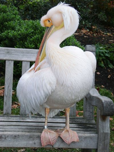 Pelican On Bench White Color Bird Bird Photography Birdwatching Beauty In Nature Preening Birds Animal Themes Outdoors No People London Parks Beak Animals In The Wild Long Beaked Bird