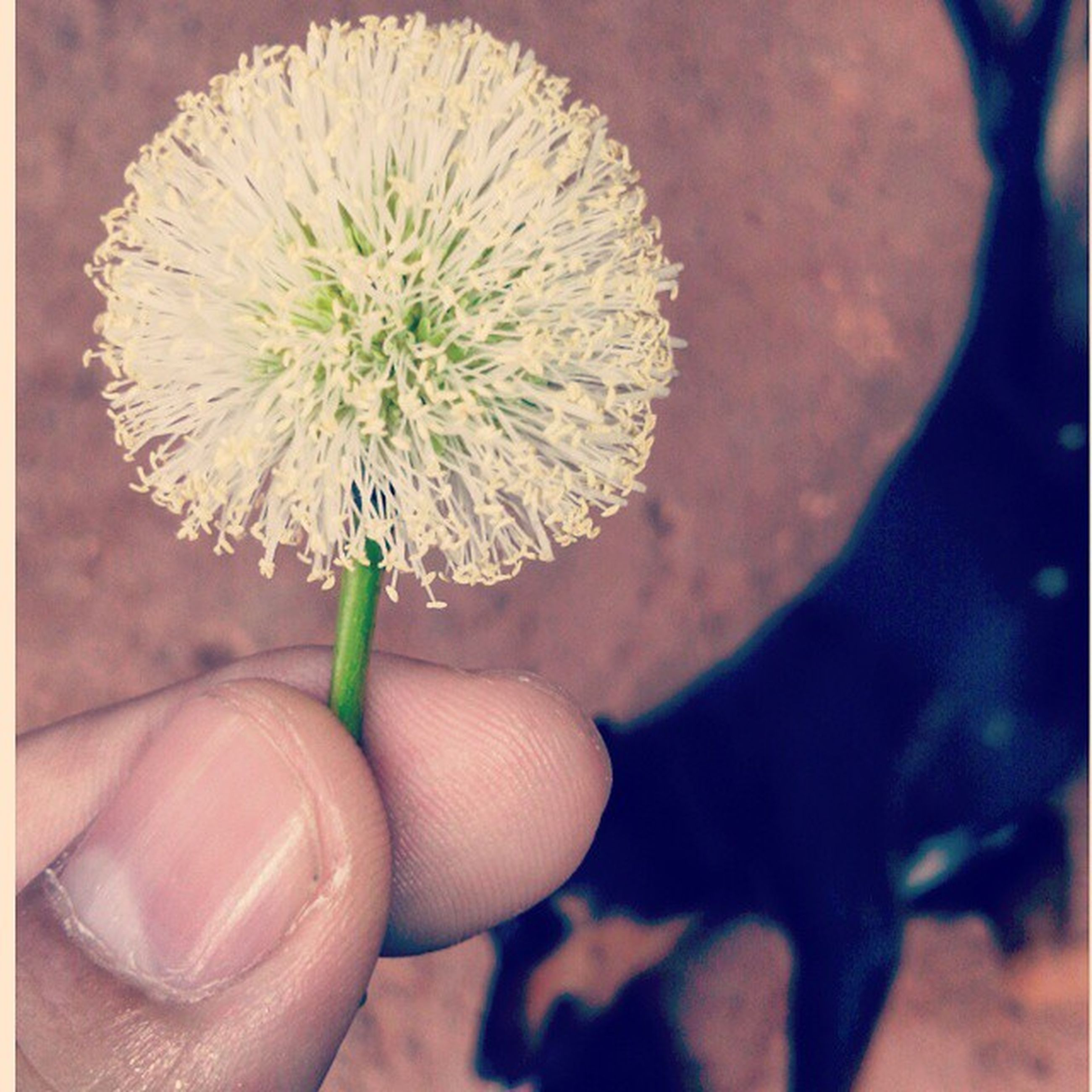 flower, holding, person, close-up, fragility, focus on foreground, flower head, freshness, part of, cropped, human finger, white color, petal, dandelion, growth, single flower, plant