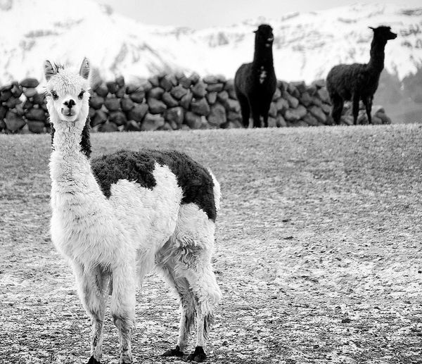 Mammal Animal Themes Animal Domestic Animals Animal Wildlife Animals In The Wild Llama Livestock Nature Outdoors Standing Day Desert Sand Alpaca Arid Climate No People Chile