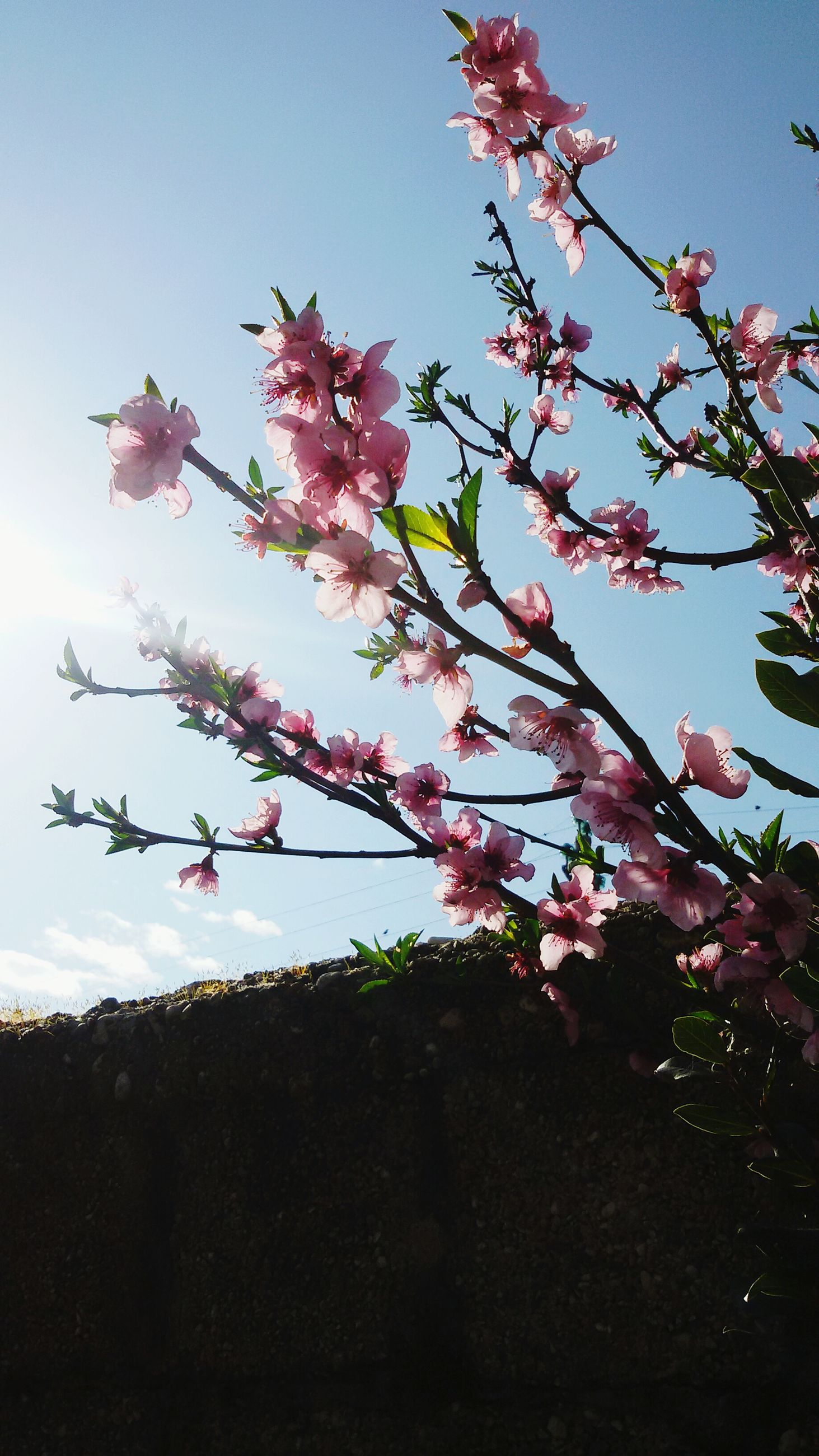 flower, freshness, tree, low angle view, growth, branch, fragility, clear sky, pink color, beauty in nature, nature, sky, blossom, blooming, cherry tree, cherry blossom, in bloom, springtime, day, sunlight