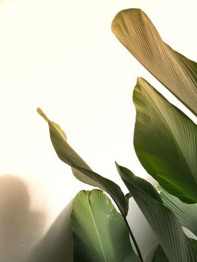 EyeEmNewHere Iphonephotography The Week On EyeEm Tropical Leaf Leaves Leaves🌿 Green Nature Summer Plant