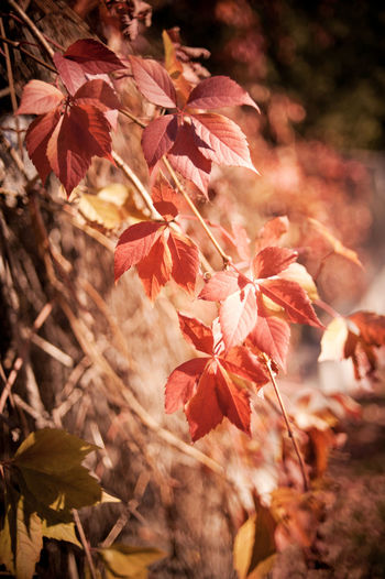 Vitaceae family plant Parthenocissus quinquefolia vine red leaves on blurred background. Plant called woodbine, Virginia creeper, five-leaved ivy, or five-finger. Ornamental creeper plant with large deciduous leaves on fence in autumn season. Photo taken in Poland. Autumn Climbing Creeper Plant Creeping Creeping Vines Fall Fall Colors Foliage Hedge Leaf Leafage Leaflets Leafy Leaved Leaves Nature No People Parthenocissus Parthenocissus Quinquefolia Plant Plants Red Vine Vitaceae Woodbine