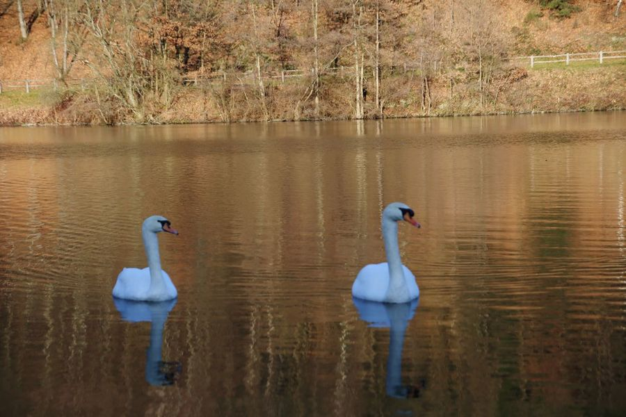 First sunny day this year EyeEm Selects Reflection Bird Animals In The Wild Lake Water Animal Wildlife Beauty In Nature Animal Themes Nature Outdoors No People Swan Tree Swimming Day