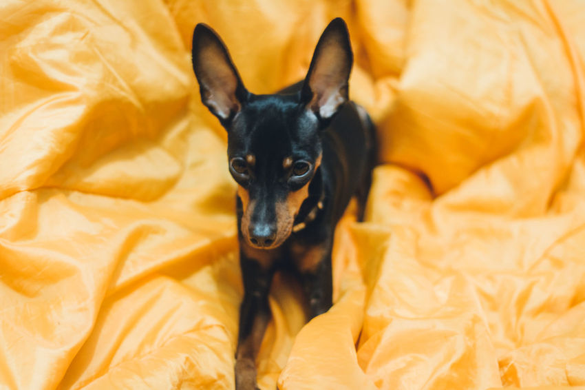 Bold Neons, Bright Pastels Feelings Black Dog Miniature Pinscher Cute Pets Animal Themes Bed Bedroom Black Color Close-up Day Dog Domestic Animals Eyes High Angle View Indoors  Looking At Camera Lying Down Minimalistic No People One Animal Orange Color Pastel Pet Pets Portrait Relaxation Sheet Sitting