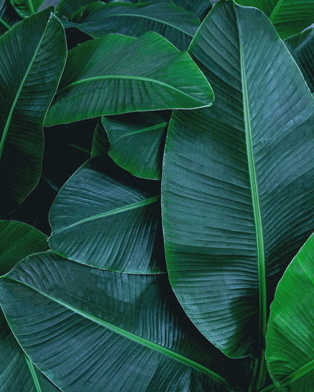 Closeup nature view of tropical banana leaf background, dark green wallpaper concept.