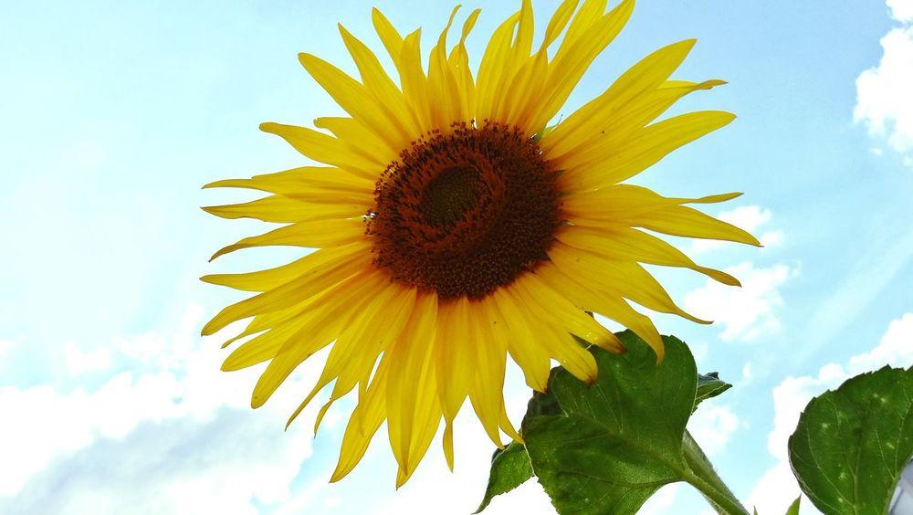 summer flower Sunflower Flower Head Flower Yellow Petal Sunflower Sky Close-up Plant Cloud - Sky