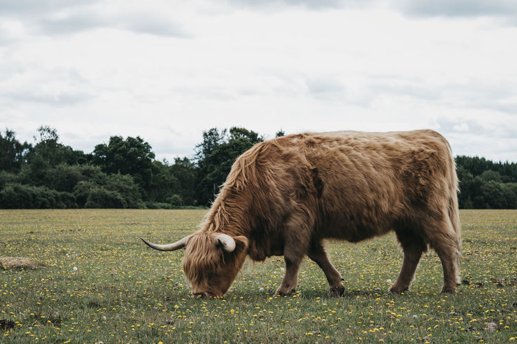 Side view of the highland cattle grazing in a field inside the new forest park in dorset, uk.