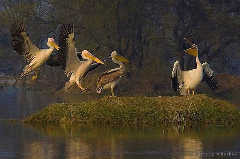Great white Pelican... Can_600d Bharatpur Birds Sanctuaryasia Natgeo Natgeohd Indianwildlife Actionphotography Sarangmhaskar Picofday Wildlife Canon Impressions_photography 1x5 Showcase March
