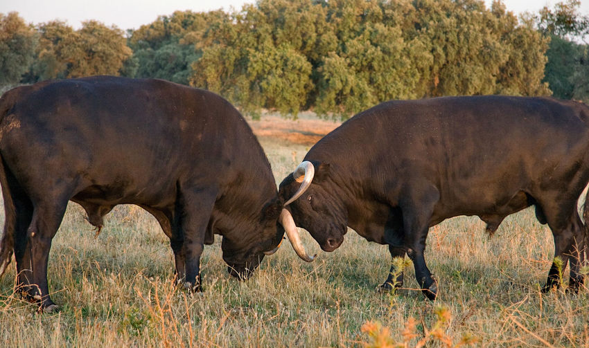 Bulls fighting while standing on field