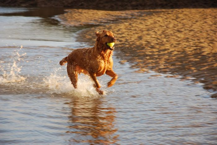 One Animal Dog Domestic Animals Water Pets Mammal Outdoors Wet Motion Animal Themes No People Nature Day Lab Labrador Retriever Fox Red Lab LabradorRetriever Labrador Red Lab Fetch