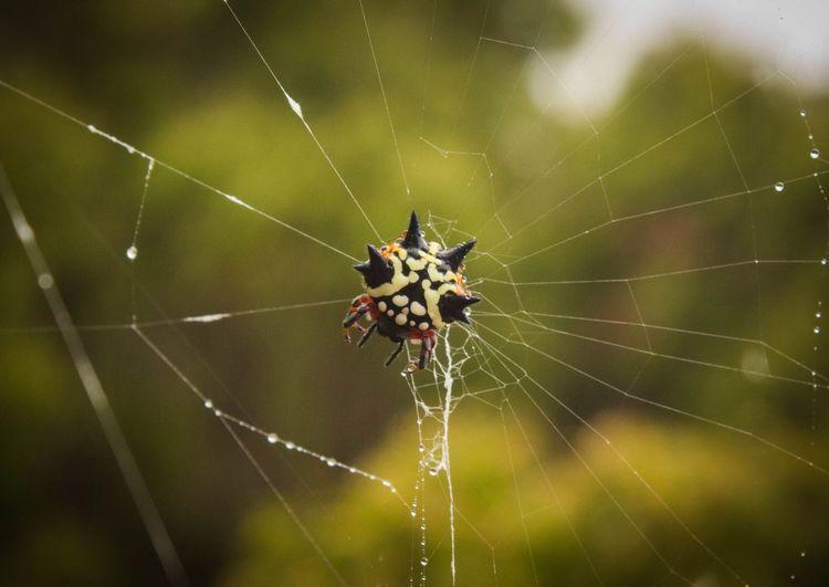 Close-up of jewel spider on web
