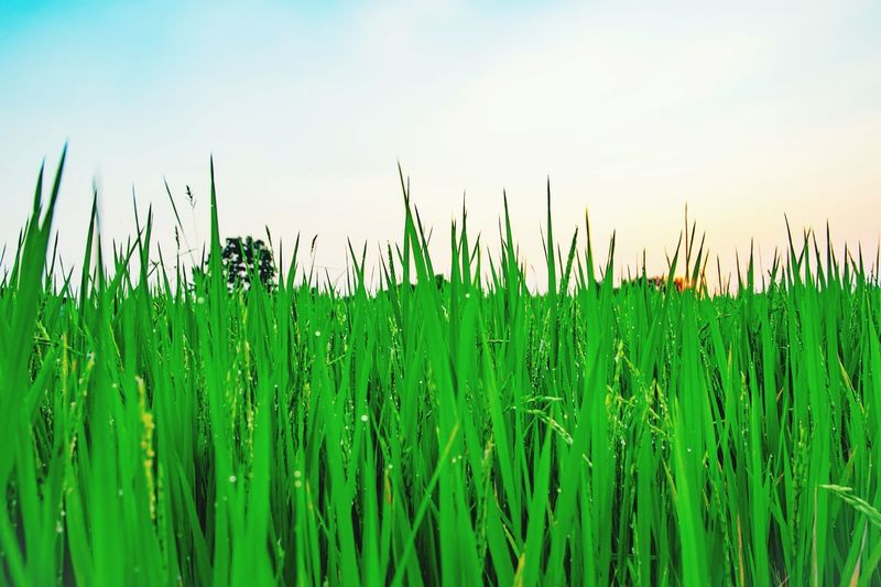 Rice farm in morning. Rice Farm Cereal Plant Growth Agriculture Green Color Crop  Rural Scene Field Nature Outdoors Beauty In Nature Day Grass Close-up