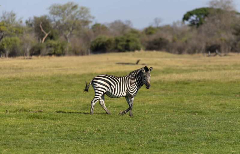 Zebra standing in a field