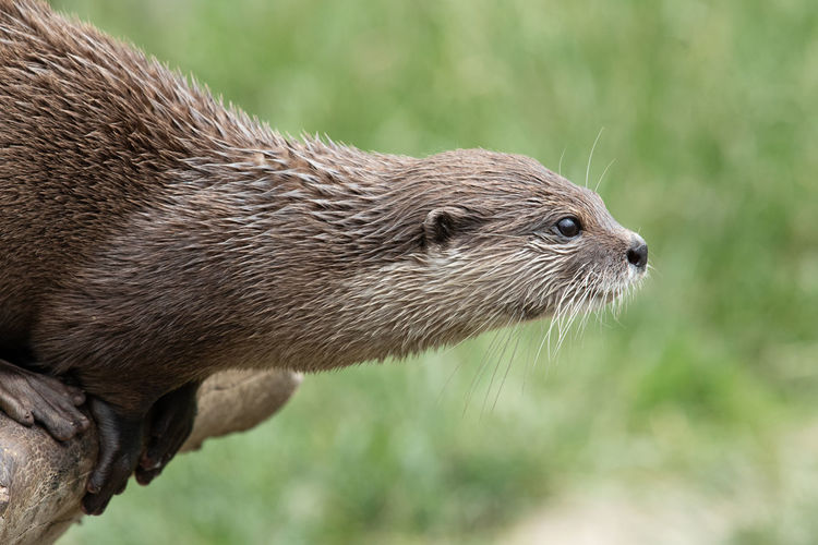Head shot of an asian small clawed otter sitting on a log