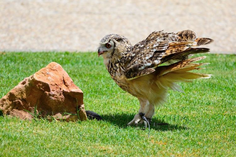 Close-Up Of Eagle Owl Perching On Grassy Field By Rock