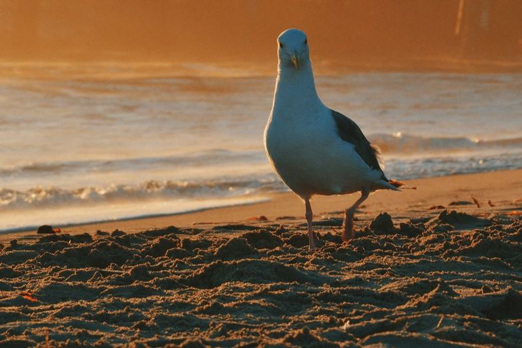 Seagull Perching On Sea Shore During Sunset