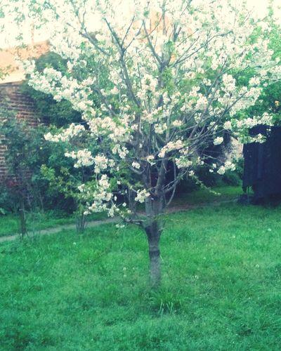 Aquel cerezo floreció, y alegro los corazones de todos🌸 First Eyeem Photo Flower Beauty In Nature Cherry Tree Tree Nature Springtime