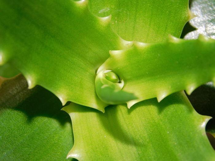 Aloe Vera Fresh Start New Year Fresh Shoot Green Plant 2018 Green Aloe Vera Sapling Fresh Sapling Sapling