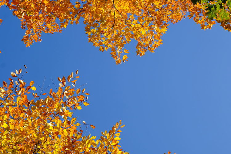 Low angle view of maple tree against blue sky