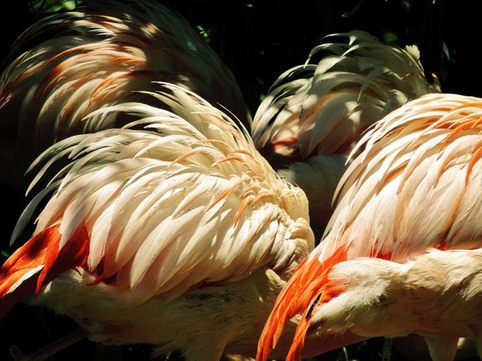 Favorites! Nature Animal Themes Sunlight The Great Outdoors - 2017 EyeEm Awards Flamenco Flemish Flamingo Feathers Flamingo Feathers Flemish Feathers Flamenco Feathers Light And Shadow Feathers Of A Bird Feather Backgrounds Beautiful Background Feathers Backgrounds Beautiful Flamingos EyeEm Selects