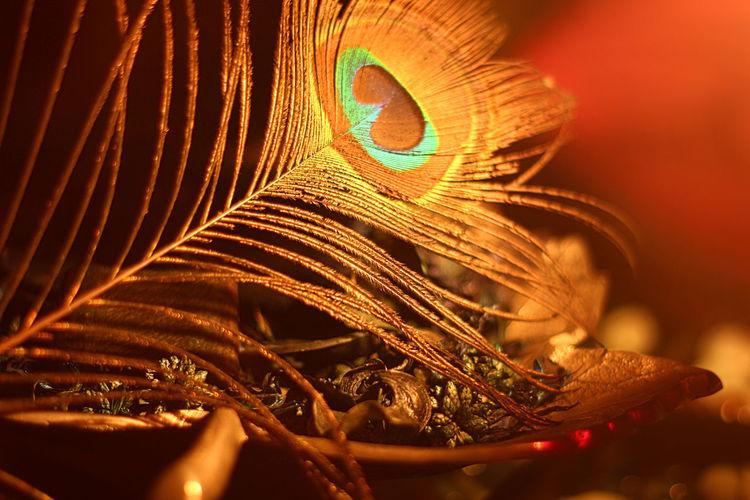 43 Golden Moments EyeEmBestPics EyeEm Best Shots Eyeem Market Eyephotograpghy EyeEm Team Dehradun Canon Azfarphotography Azzydoon Azfar Peacock Feather Peacock Colors Peacock Feathers Bird Photography Birds_collection EyeEm Eyeemphotography EyeEm Masterclass Feather  Golden World Showcase July