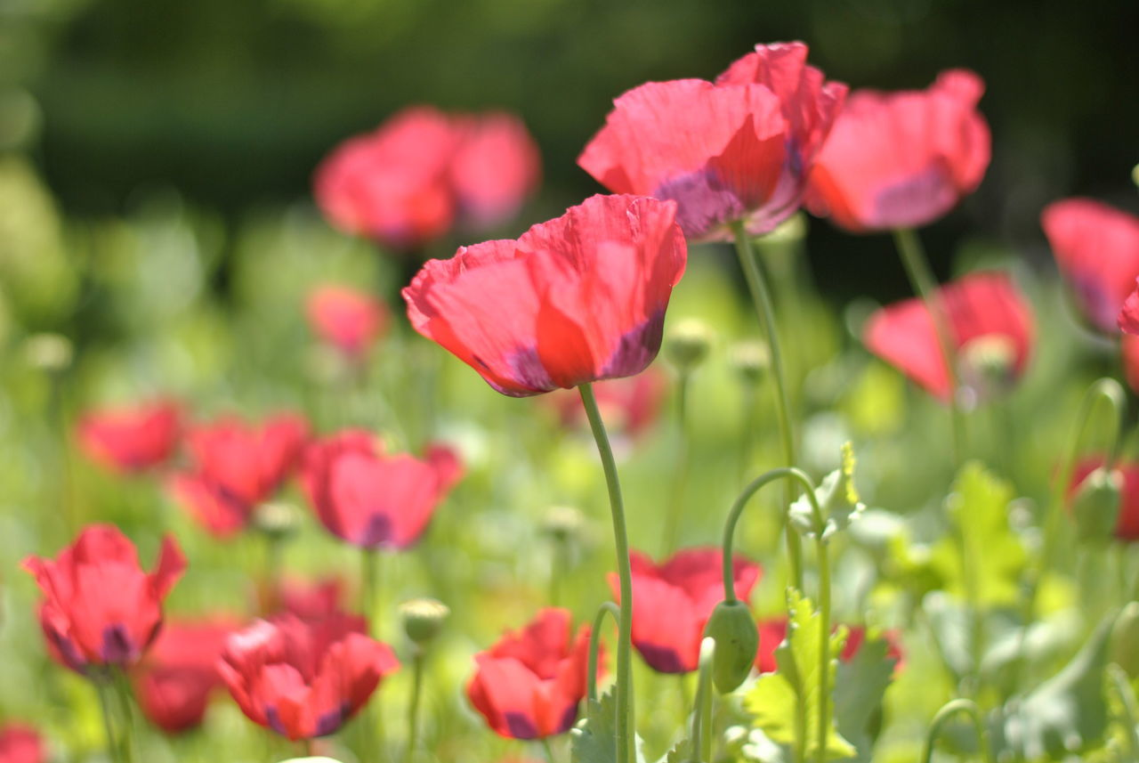 Blossoming poppy flowers in the summer