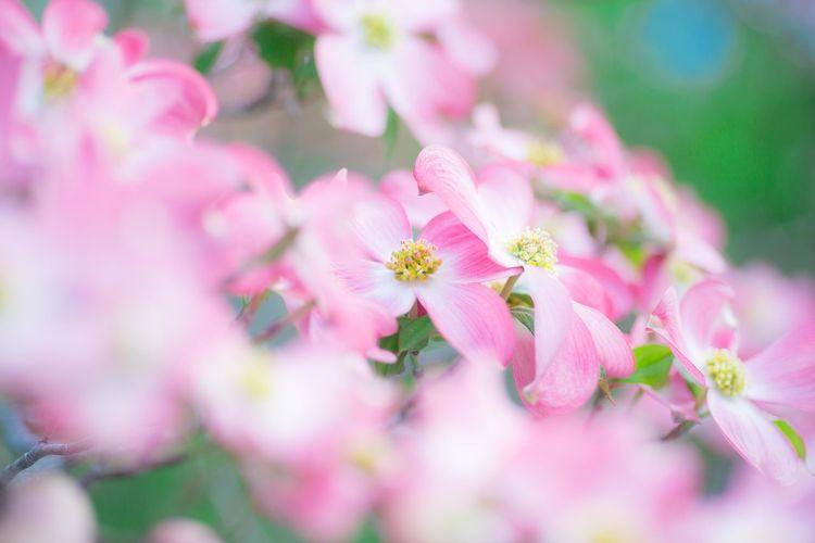 ハナミズキ dogwood OSAKA Japan Dogwood Flower Head Flower Defocused Pink Color Summer Pastel Colored Females Beauty Petal Closing
