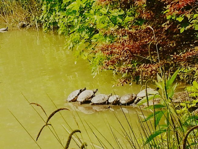 Grass Turtles In The Sun Turtles No People Water Lake Nature Outdoors Grass Green Color No People