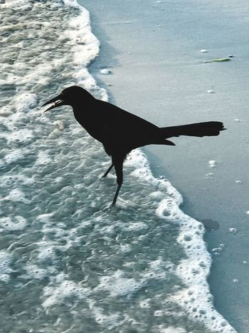 ▪️Raven▪️ One Animal Animal Themes Water Animals In The Wild Waterfront Sea Nature Bird Animal Wildlife No People Swimming Sea Life Day Outdoors Mammal EyeEm Gallery EyeEm Fresh On Eyeem  Ladyphotographerofthemonth Through My Eyes EyeEm Best Shots Raven Gulf Of Mexico Fort Myers Beach
