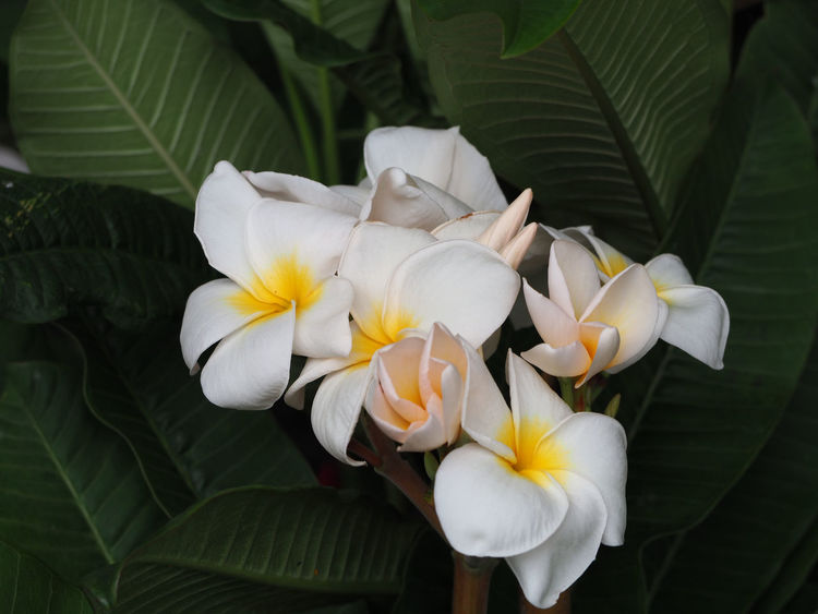 Bouquet of Plumeria flower on the tree. EyeEm Nature Lover Beauty In Nature Blooming Blossom Bouquet Bouquet Of Flowers Close-up Day Floral Flower Flower Head Fragility Freshness Growth Leaf Nature No People Outdoors Periwinkle Petal Plant Wallpaper White Color