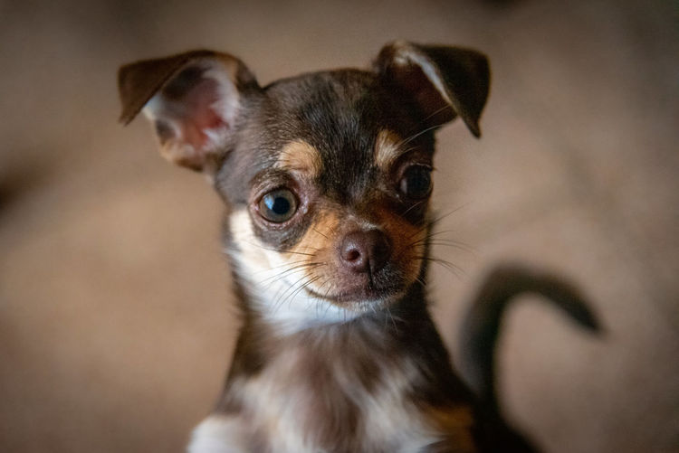 Cute little brown chihuahua dog looking at the front viewer quietly pensative