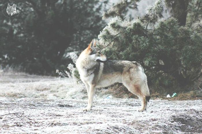 Wolfdog Czechoslovakianwolfdog Csv Wolf Canelupocecoslovacco