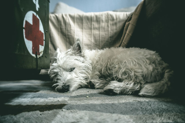 Animal Themes At Home Day Dog Domestic Animals Low Angle View Lying Down Mammal No People One Animal Pet Photography  Pets Relaxation Sleeping West Highland White Terrier