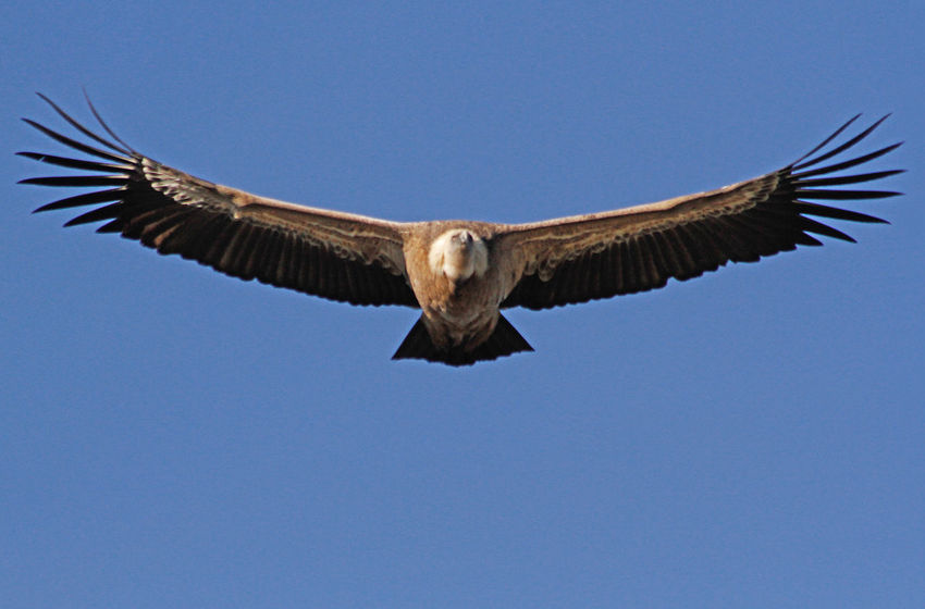 Flying Animals In The Wild Animal Wildlife Sky Spread Wings Low Angle View Bird Vertebrate Bird Of Prey Animal Wing Vultures Vulture Flying Vulture Free Free Flying High Bearded Vulture Lammergeyer Spanish Vulture Big Bird Scavenyer Bird Scavenyer Carrion Birds Carrion Vulture Majestic Bird
