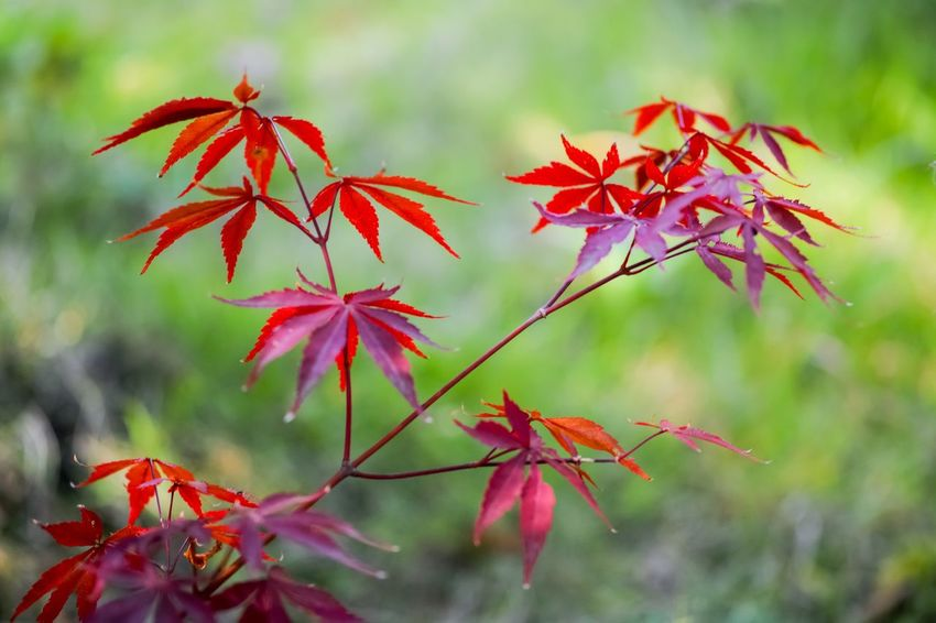 Autumn Autumn colors Autumn Leaves Nature EyeEm Nature Lover Nature_collection Nature Photography Taking Photos EyeEm Best Shots EyeEm Gallery From My Point Of View The Week on EyeEm Plant Part Leaf Red Plant Beauty In Nature Autumn Close-up Nature Maple Leaf Branch Leaves Maple Tree Outdoors