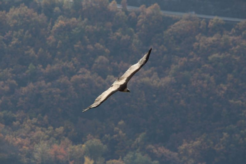 Vautour Millau Millau, France Nature Animal Themes Flying