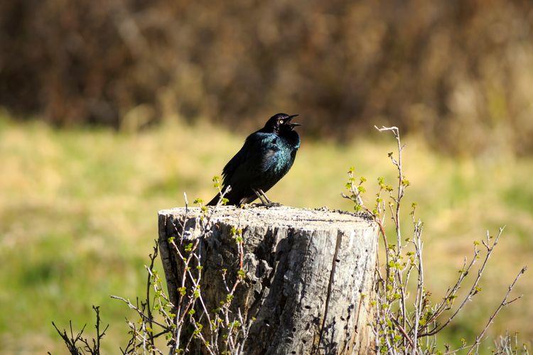 brewer's blackbird Singing Bird Brewers Blackbird Utah Bird Photography Bird Perching Songbird  Standing Close-up Blackbird Wooden Post