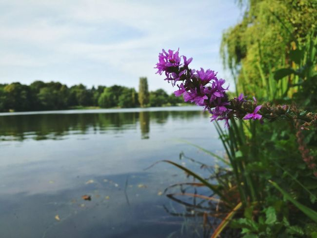 Heiliger See Potsdam Flower Lake Water Nature Purple Beauty In Nature Sky Outdoors
