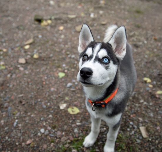 Husky Puppy With Brown And Blue Eye