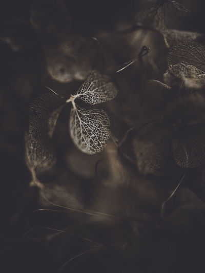 Dark and moody macro dead hydrangea skeleton Close-up No People Plant Nature Growth Leaf Selective Focus Plant Part Fragility Beauty In Nature Flower Vulnerability  High Angle View Indoors  Freshness Day Dry Flowering Plant Flower Head
